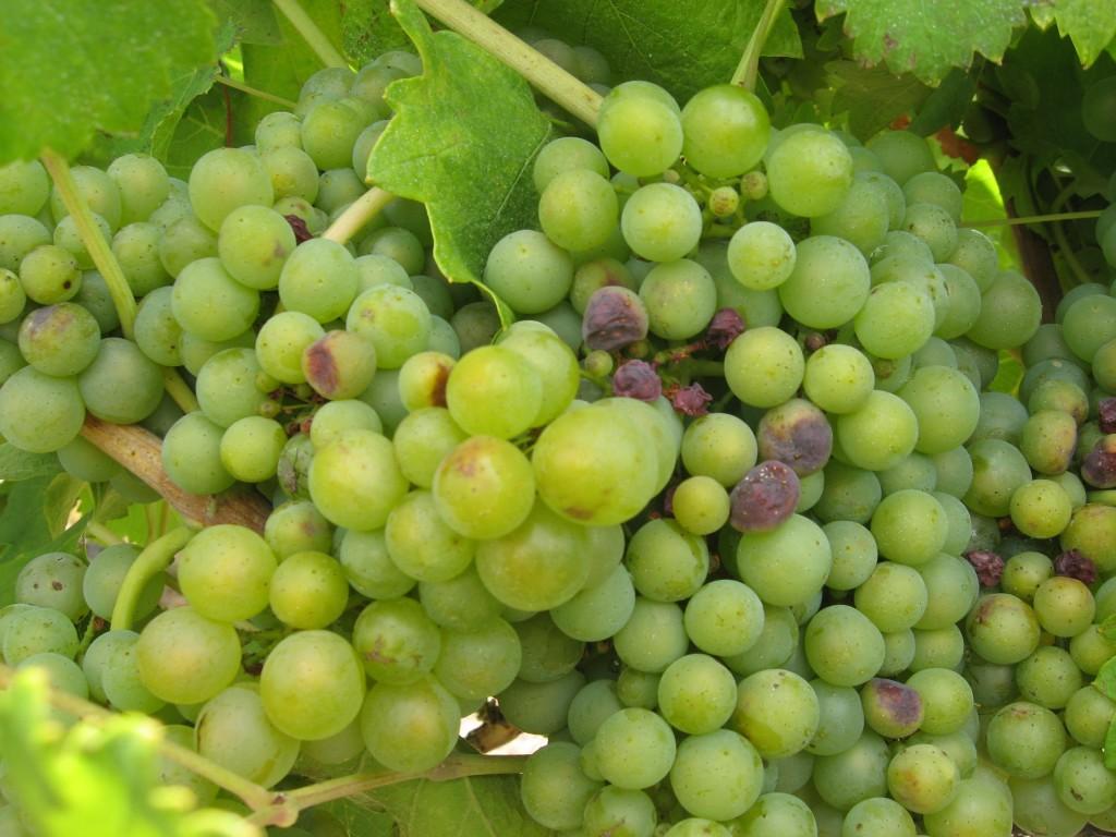 Argentinean Chardonnay Grape